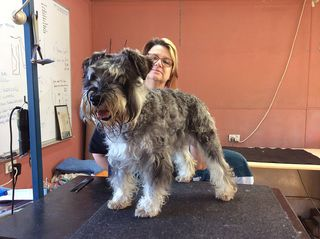 Karen from WA with a Schnauzer- before and after pic