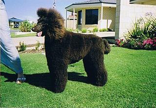 Standard Poodle which a student gave a full scissor cut.