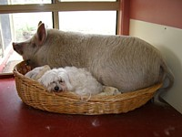 Snowy and Percy the Pig take a nap after a long day at the office
